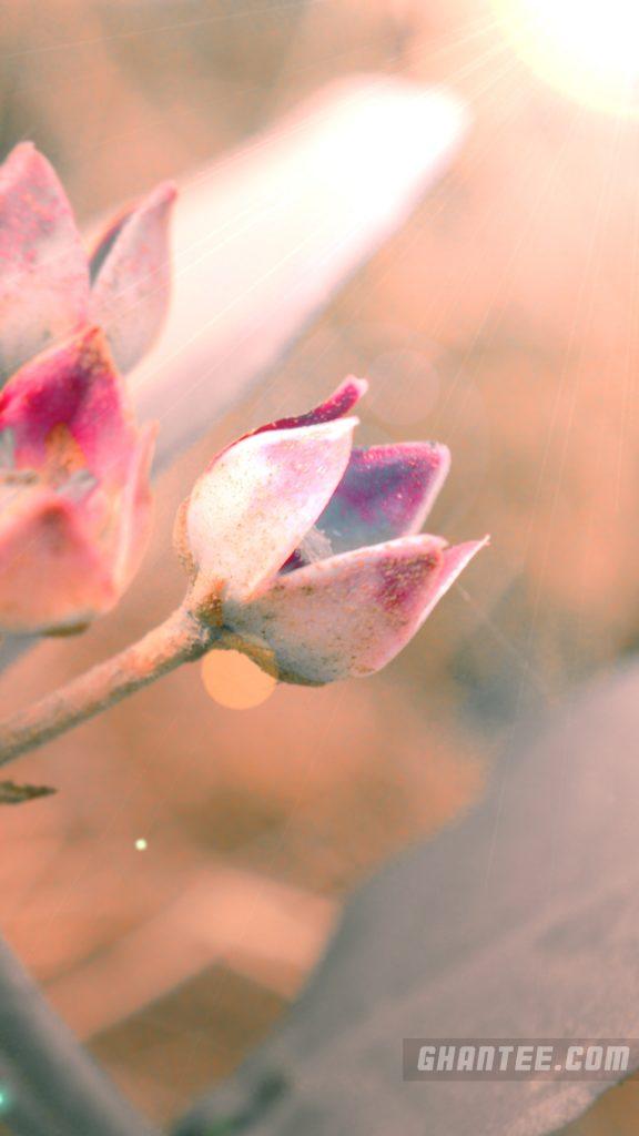 tulip flower magenta phone wallpaper full HD